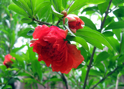 Annieinaustin, pomegranate flower