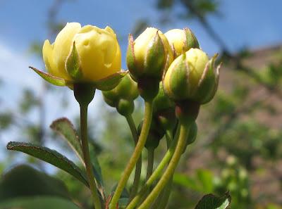 Annieinaustin Lady banks rosebuds