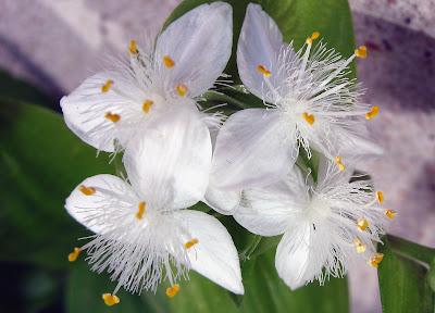 Annieinaustin, white flowered tradescantia
