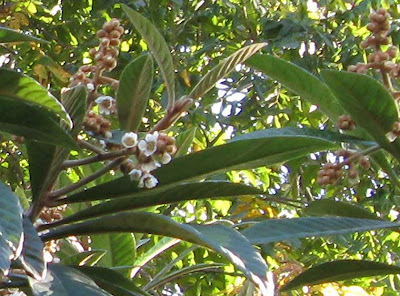 Loquat Tree in Bloom