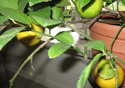 Meyer's Lemons, Annieinaustin