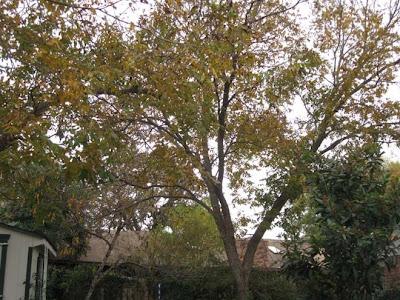 December pecan tree,annieinaustin