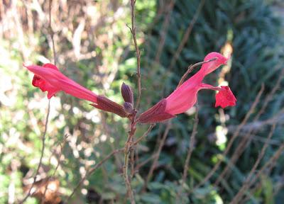 Salvia greggii,Annieinaustin