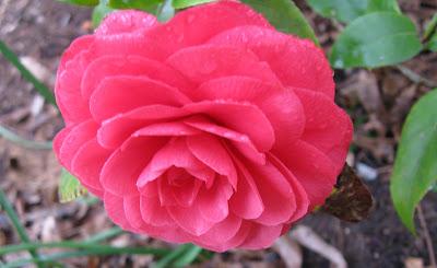Pius X camellia, Annieinaustin