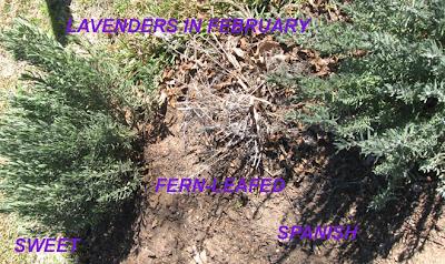 Surviving lavender, Annieinaustin