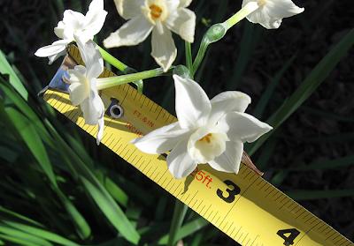 Narcissus & ruler, Annieinaustin