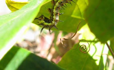 Passionvine caterpillar, Annieinaustin