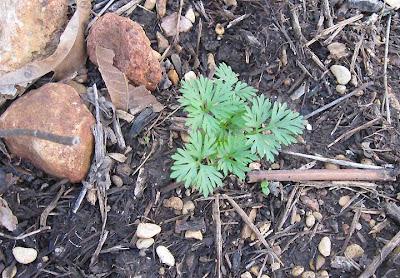 Larkspur seedling, Annieinaustin