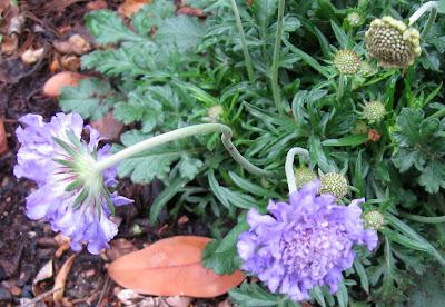 Annieinaustin, Butterfly Blue scabiosa