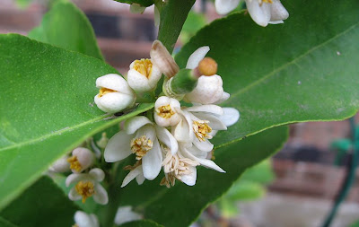 Annieinaustin, Mexican lime flowers