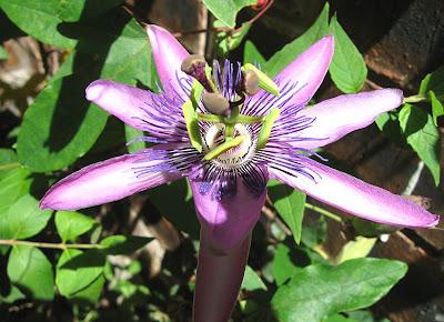 Annieinaustin, passionflower