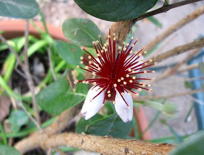 Annieinaustin, pineapple guava flower
