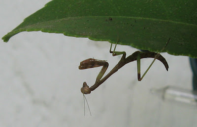 Annieinaustin, praying mantis