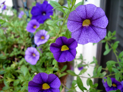Annieinaustin, purple calibrachoa
