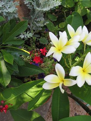 Annieinaustin, yellow plumeria, jatropha