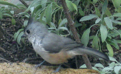 Annieinaustin, black crested titmouse