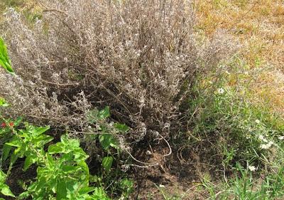 Annieinaustin, lavender died
