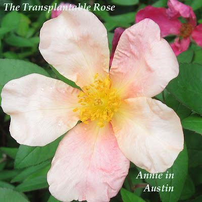 Annieinaustin, Transplantable Rose mutabilis
