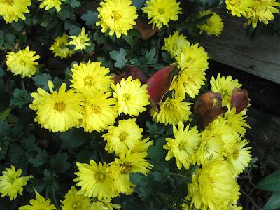 Annieinaustin,yellow mums