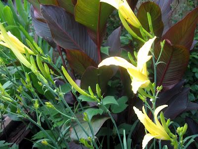 Annieinaustin, Hemerocallis citrina w cannas