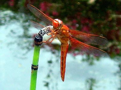 Annieinaustin, pond 7, Dragonfly orange