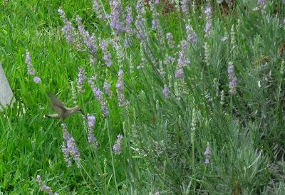 Annieinaustin Hummingbird in lavender