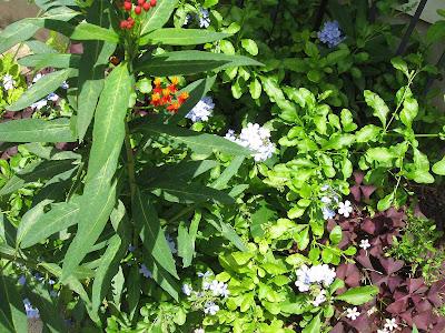 Annieianaustin, blue plumbago with milkweed