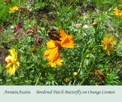 Annieinaustin, Orange cosmos, bordered patch butterflies