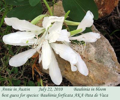 Annieinaustin, Bauhinia forficata