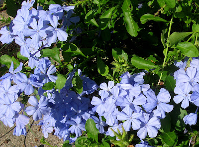 Annieinaustin,Blue Plumbago with seedheads