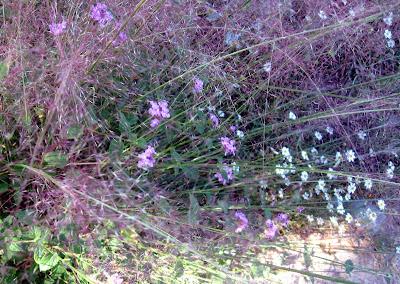 annieinaustin gulf muhly grass, blackfoot daisies