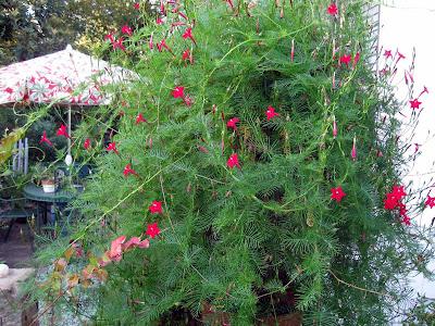 Annieinaustin, Cypress vine gone wild