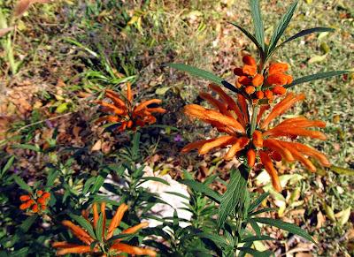 Annieinaustin, lion's tail plant