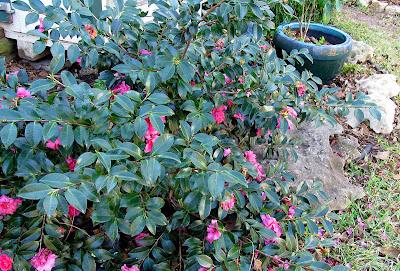 Annieinaustin,Camellia sasanqua shishi gashira