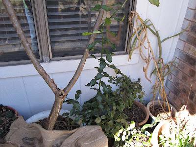 Annieinaustin,2011,02,plants uncovered