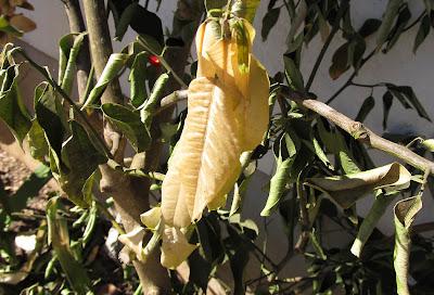 Annieinaustin,2011,02,frozen meyer's lemon tree