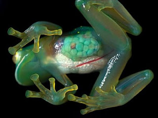 glass frog or crystal frog /see-through frog picture