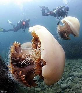 nomura's jellyfish,nomora jellyfishes