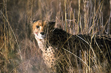 cheetah ~ masai mara ~ kenya
