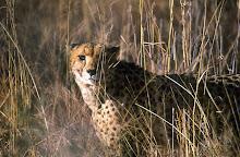 cheetah ~ masai mara ~ kenya
