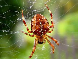 laba-laba hitam