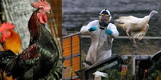 ayam-tahan-flu-burung