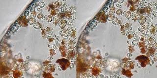 organisme-tertua-didunia