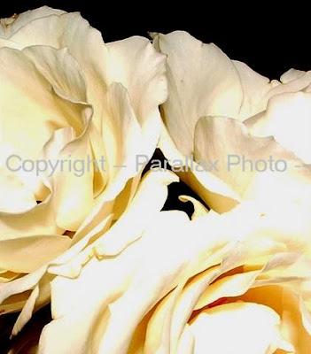macro photography elegant white roses