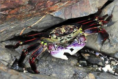 amazing-crab-5