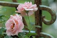 Der Duft der Rosen.......