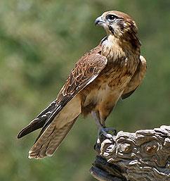 Hawk migration season
