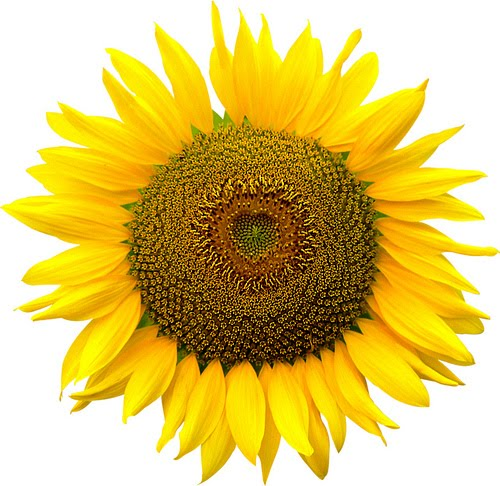Free High Resolution graphics and clip artSunflower Images Clip Art