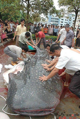 Nemoto: Ikan Lele Terbesar di Dunia !