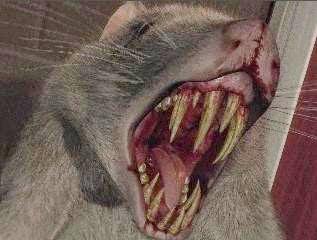 Rata Terrier Perros y Caninos